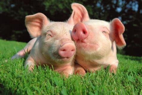 imagenes graciosas de cerdos para navidad razas de cerdos descripci 243 n caracter 237 sticas fotos y v 237 deos