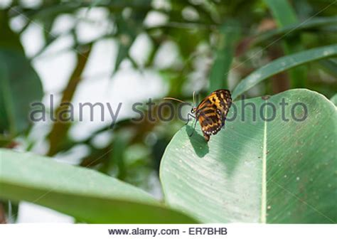 african monarch butterfly (body stock photo, royalty free