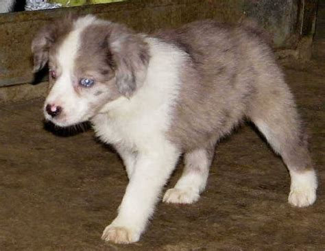 australian shepherd puppies for adoption mini australian shepherd dogs quotes