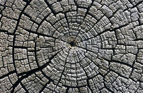 tree ring tree rings reveal mystery radiation burst hit earth 1 200