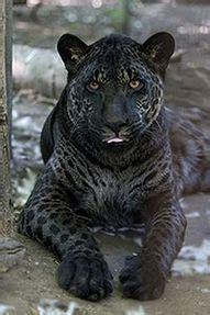 Half Jaguar Half Leopard Jaglion Half Jaguar And Half