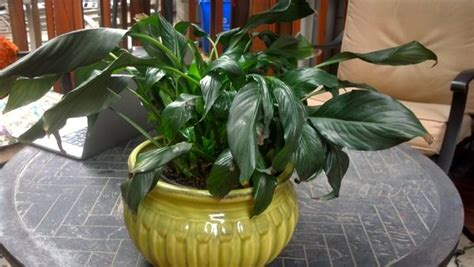 how to bring a plant back to life how to bring a peace lily back to life