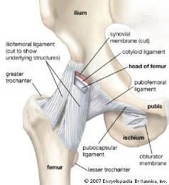 Hip anatomy labrum around socket hip pain flexor hip pain