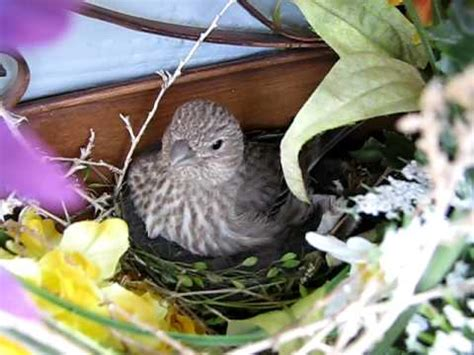 house finch nesting house finch mother nesting youtube