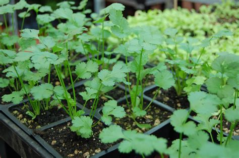 vegetable garden plants for sale complete vegetable list for may 9th plant sale the
