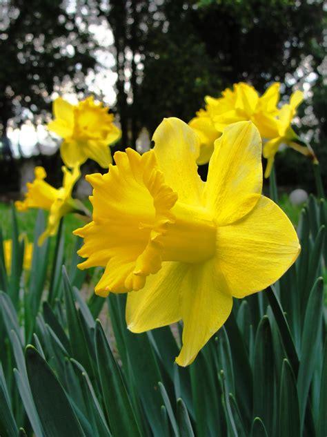 daffodil yellow heritage flowers braman s wanderings