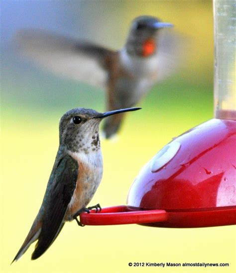the 25 best sugar water for hummingbirds ideas on