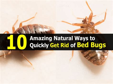 10 amazing natural ways to quickly get rid of bed bugs