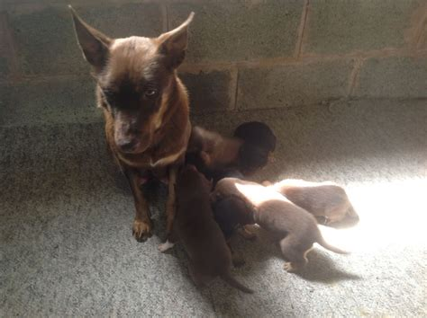 australian kelpie puppies for sale kelpie puppies cake ideas and designs