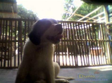 Anakan Bernard dunia anjing jual anjing bernard anakan
