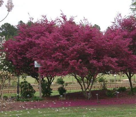 Tassel Smock Fuchia by Loropetalum Pink Fringe Flower In Tree Form