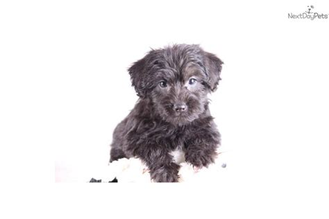 yorkie poo temperament meet dallas a yorkiepoo yorkie poo puppy for sale for 299 dallas www