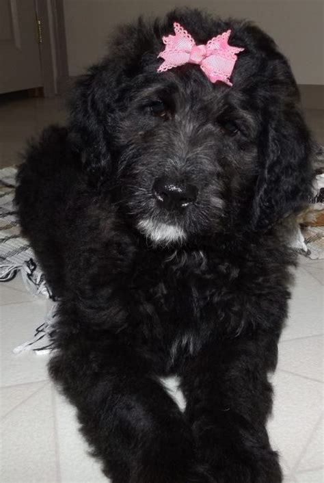 puppies for sale in port st berdoodle puppies for sale find your puppy here vip puppies