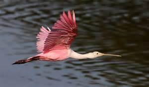 birding at huntington beach state park