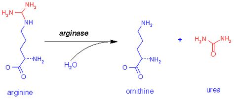 How Does The Detox Ammonia Chemistry by Investigation Of Detoxification Processes And Biosynthesis