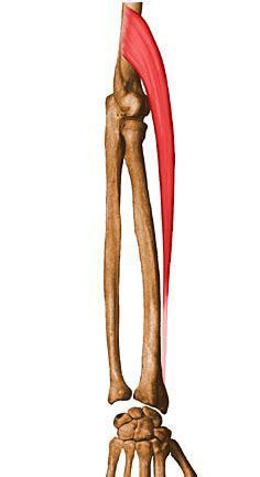 Piombatura Denti by Supinador Corto 28 Images Miembro Superior M 218