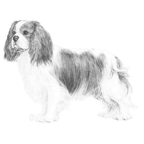 coloring pages of cavalier king charles spaniels cavalier king charles coloring download cavalier king