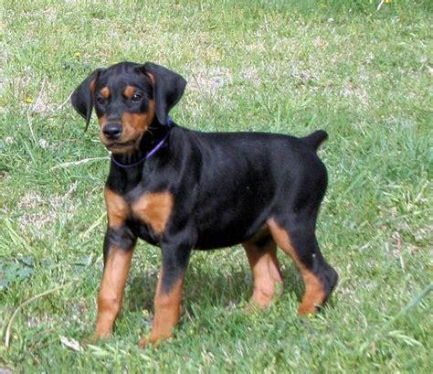 black doberman puppies black doberman puppy dobermans black doberman puppys and doberman puppies