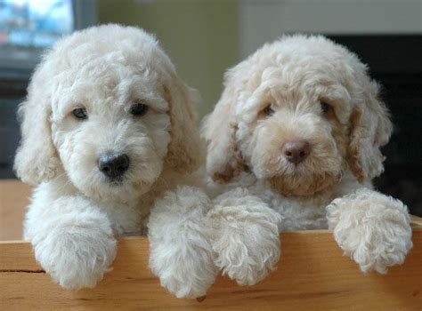 goldendoodle puppy care and 46 best images about goldendoodle info on
