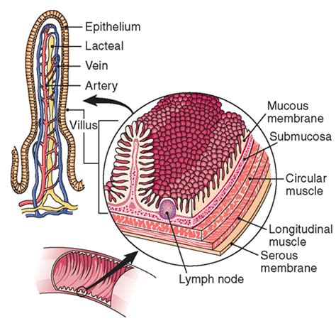 longitudinal section of small intestine the digestive system structure and function nursing part 2