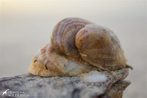 what are slipper shells the living sea shells a photo gallery of sanibel island