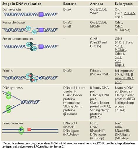 7 proteins involved in dna replication dna replication of prokaryotes