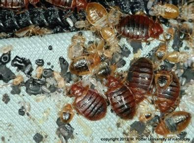 how does a person get bed bugs how to get rid of bed bugs how to kill bed bugs