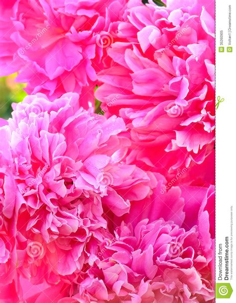 pink peonies nursery pink peonies close up royalty free stock photo image