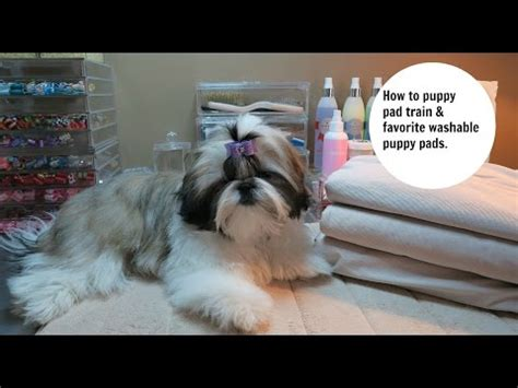 how to your to use potty pads shih tzu puppy funnydog tv