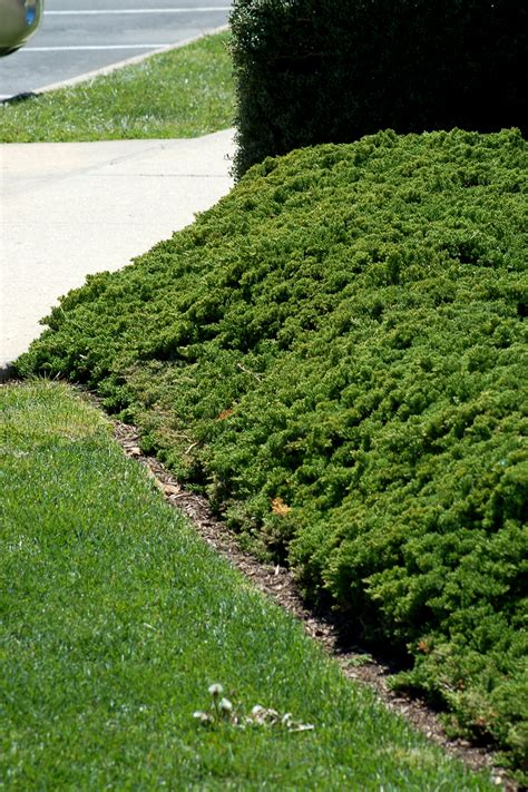 Landscape Fabric Steep Hill Tough Slope Junipers Are Up To Task Front Yards Yards