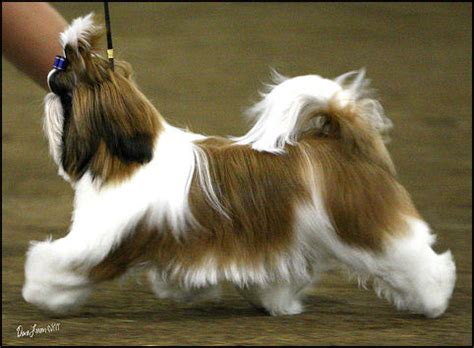 mr foo shih tzu shih tzu breeder in michigan breeds picture