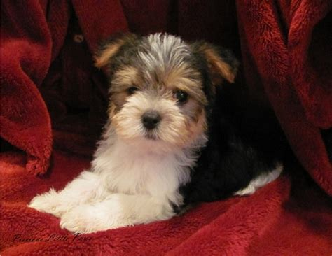 morkie puppies for sale in illinois puppies for sale morkie yorktese morkies yorktese f category in milan