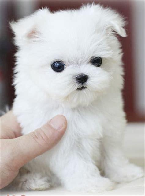 Teacup Pomeranian Shed by Teacup Maltese Images