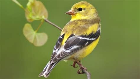 Backyard Yellow Birds Yellowbirds Sur Topsy One