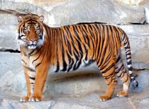 le mit foto fotos de tigres