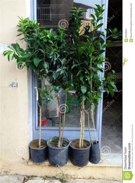 albero in vaso fresco alberi da frutto in vaso foto folusawall