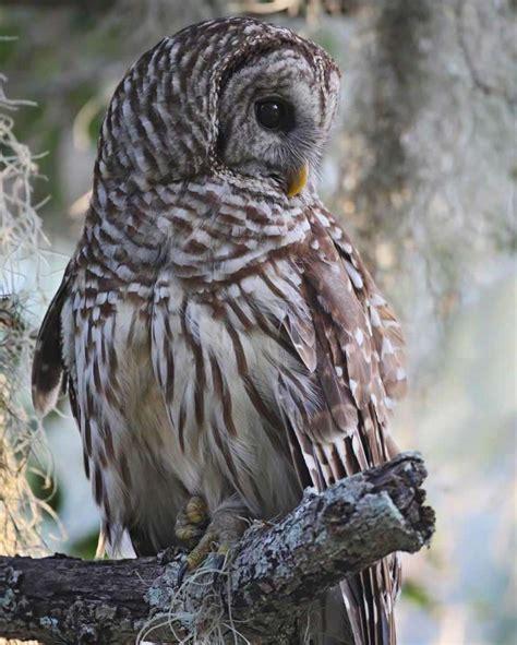 L Owl by Barred Owl Audubon Field Guide