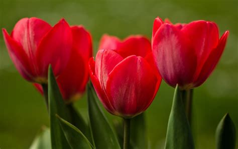 imagenes tulipanes naturales red tulips hd wallpapers