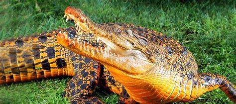 strange orange strange orange croc s living bats discovered