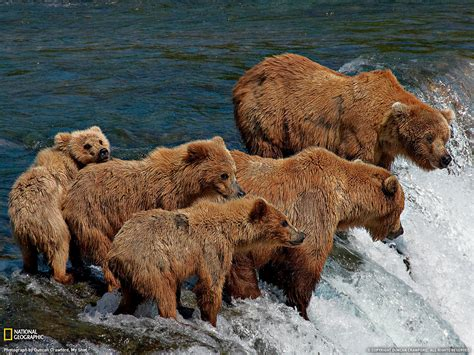 day bears grizzly bears photo animal wallpaper national