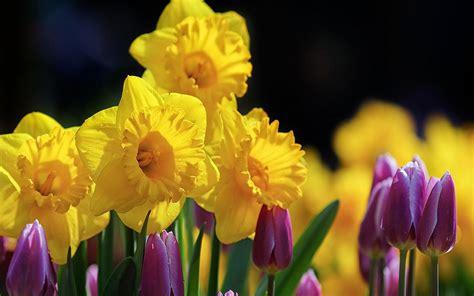 tulips daffodils wallpaperscom