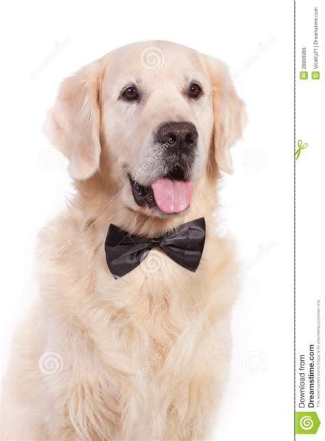 puppy with bow with bow tie royalty free stock photo image 28806985