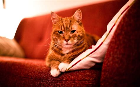 cats on couch adult red cat on a sofa wallpapers and images wallpapers