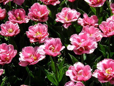 blumenzwiebeln im topf pflanzen blumenzwiebeln im topf 252 berwintern gartentipps