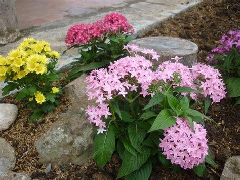 imagenes de flores isoras penta la planta de las mariposas y los colibr 237 es