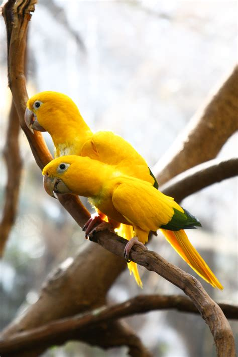 golden conure parakeets golden conure flickr photo sharing