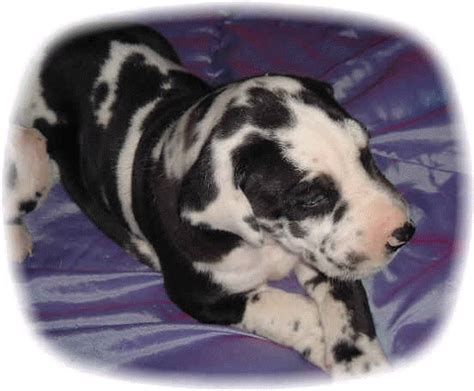 great dane puppies for sale michigan great danes for sale in michigan myideasbedroom