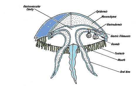 diagram of a jellyfish anatomy jelly the jelly fish
