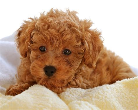 ginger doodle puppy ginger red poodle puppy love animals pinterest red