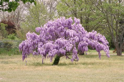 wisteria tree care images
